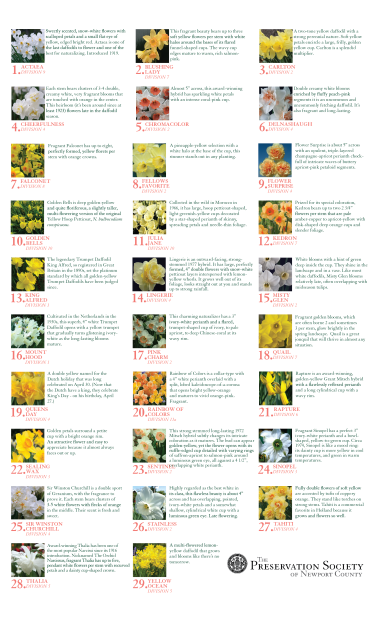 daffodilhandoutback
